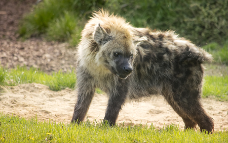 Spotted hyena standing in the green grass