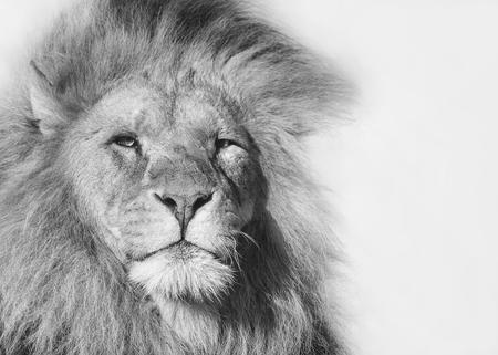 Black and white portrait of a male lion Standard-Bild - 121279756