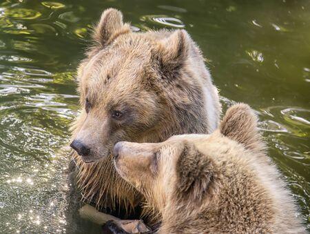 Two cute brown bears in the water Standard-Bild - 131622476