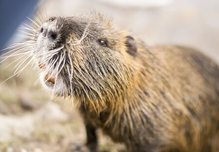 Closeup portrait shot of a nutria also known as coypu Standard-Bild - 131622948