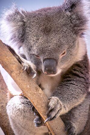 Portrait of a tired, sleepy koala bear on a tree Standard-Bild - 131623460