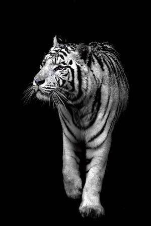 White tiger isolated on a black background Archivio Fotografico