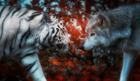 Concept image of a tiger facing off a wolf.