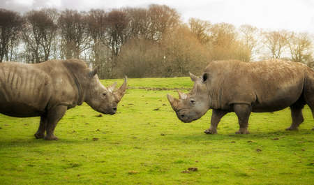 Two southern white rhinoceroses in the nature.