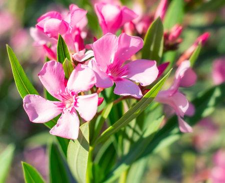 Pink nerium oleander flowers in the sunshine