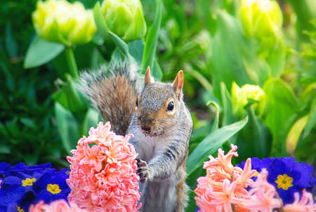 Cute squirrel between the colourful spring flowers Standard-Bild