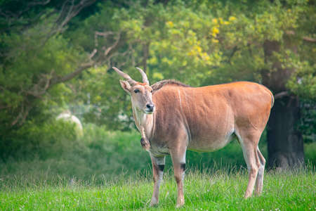 Wild african Eland antelope in the nature Stock Photo