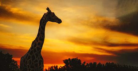 African giraffe towering in the savannah sunset Stock Photo