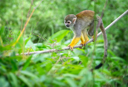 Small squirrel monkey climbing on a rope