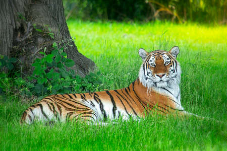 Majestic Siberian tiger resting in the grass