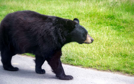 North American black bear walking on the road