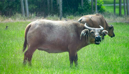 African dwarf forest buffalo grazing in the nature Stock Photo