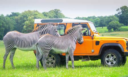 Ranger feeding zebras in a safari park