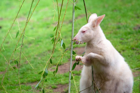 Albino wallaby feeding on leaves from a branch