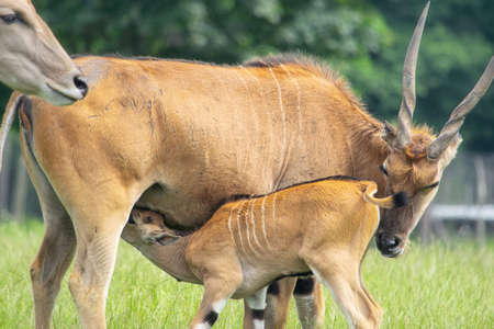 Baby Eland antelope sucking milk from its mother