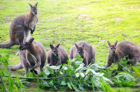 Cute wallabies feeding on leaves from a branch