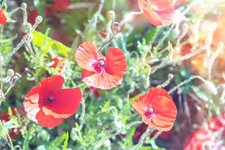 Red poppy flowers in the sunshine. Soft, pastel effect. Stock Photo