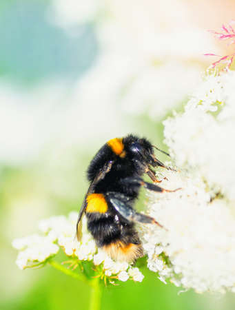 Macro of a bumblebee on a white flower