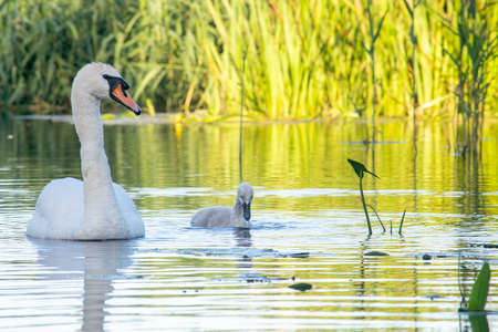 Swan swimming on a river with a cygnet