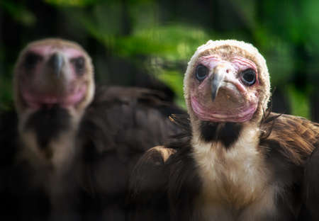 Portrait of a pair of hooded vultures. Stock Photo