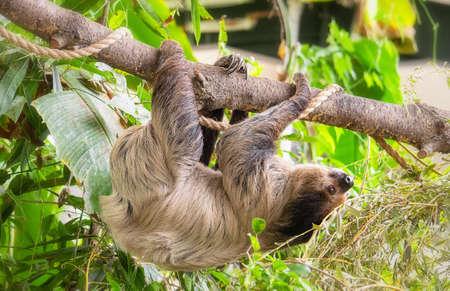 Three-toed sloth climbing on the leafy tree