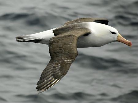 Black-browed albatross photo