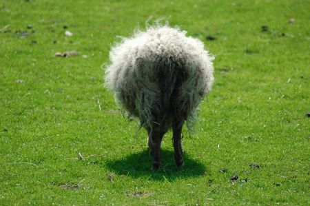 wooly: Fluffy sheep on green meadow