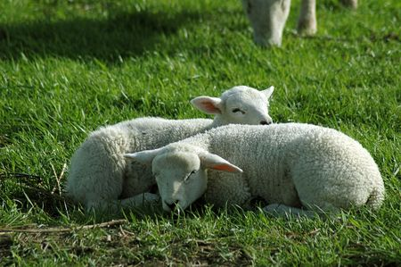 Two easter lambs photo