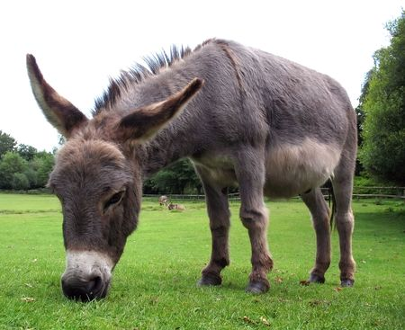 farmlife: Grazing donkey