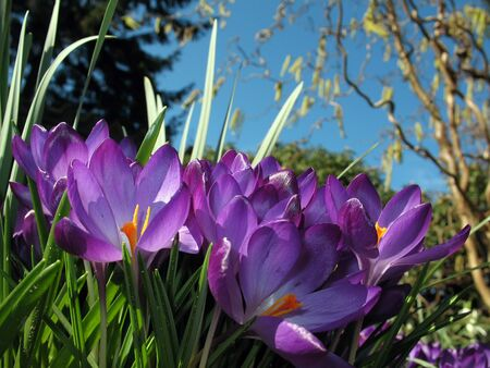 Purple spring crocus flowers Stock Photo