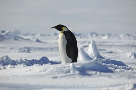 Standing penguin photo