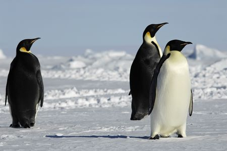 Three curious penguins in Antarctica