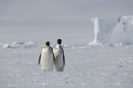 Two emperor penguins Stock Photo