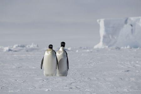 Two emperor penguins photo