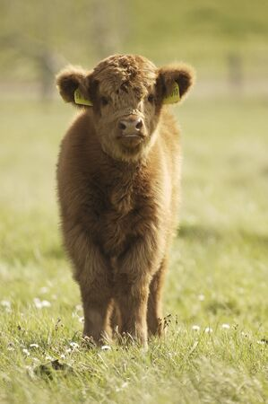 farmlife: Galloway calf on meadow