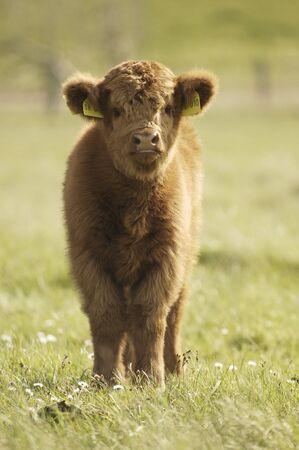 Galloway calf on meadow