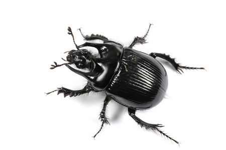 Taurus beetle isolated on white background photo