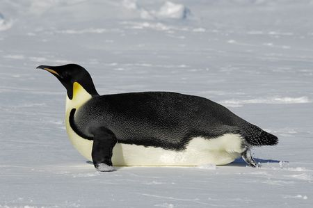 Emperor penguin gliding over the Antarctic ice