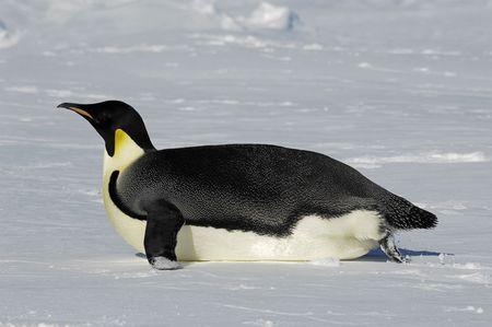 gliding: Emperor penguin gliding over the Antarctic ice