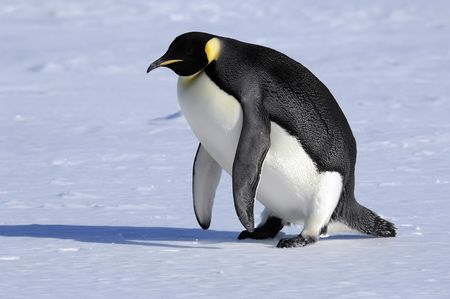 Emperor penguin getting on its feet Stock Photo