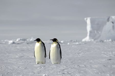 Emperor penguin pair in Antarctica Stock Photo - 3507354