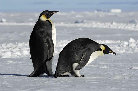 Antarctic penguin couple photo