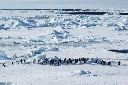 Antarctic adelie penguins