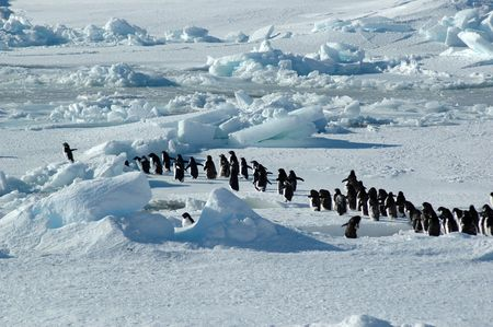 winter escape: Antarctic adelie penguin group with leader Stock Photo