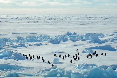 Antarctic adelie penguin group