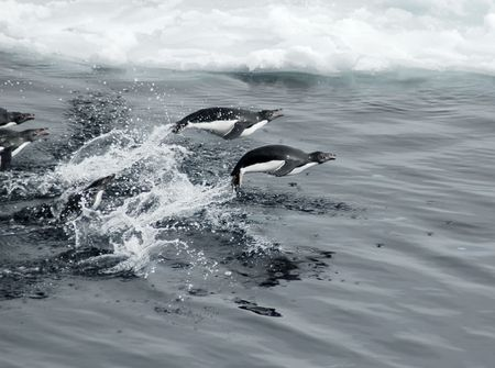 Adelie penguins jumping