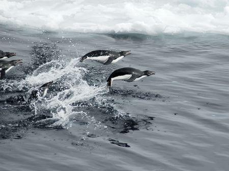 penguin: Adelie penguins jumping