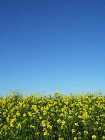 Yellow rapeseed in front of a rape field and a blue sky