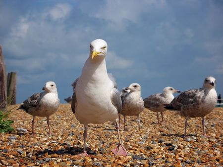 Gang of seagull hooligans with their leader