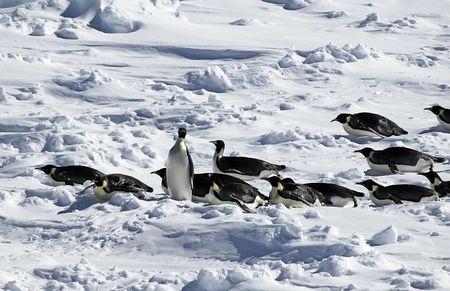 Standing penguin in penguin procession in Antarctica photo